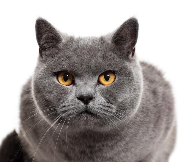 Close-up de um gato britânico de pêlo curto