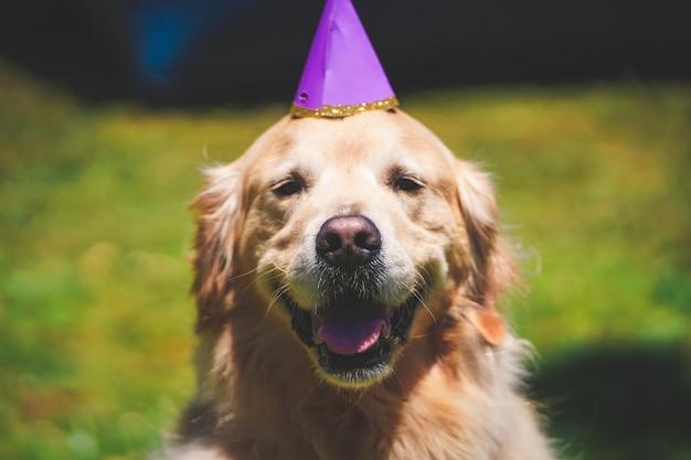 Close up de um golden retriever sorridente com um chapéu de aniversário em um dia suuny no golden gate park, sf ca