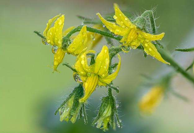 Close-up de um grupo de flores de tomate na planta