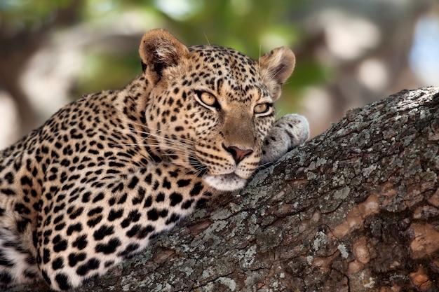 Close-up de um leopardo deitado no galho da árvore