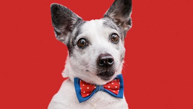 Close-up de um lindo cachorro com gravata borboleta