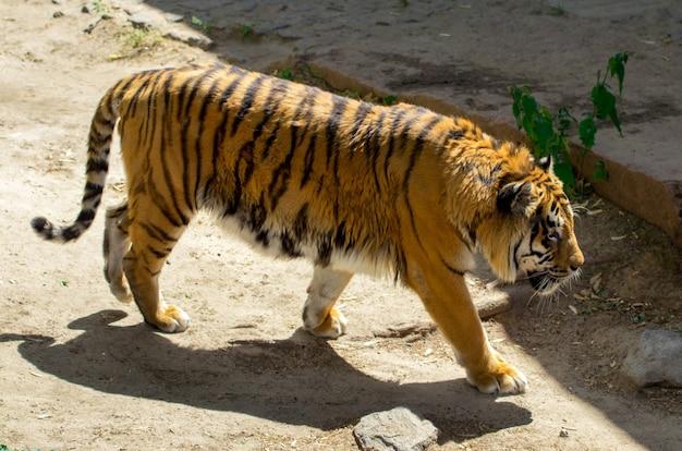 Close-up de um lindo tigre, no fundo de árvores verdes no zoológico.