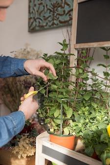 Close-up, de, um, macho, floricultor, mão, corte, a, ramo, de, hortelã, planta, com, scissor
