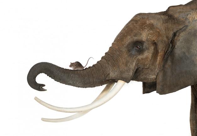 Close-up de um mouse em pé na tromba de um elefante, isolado no branco