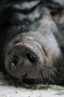 Close-up de um nariz preto de um porco vietnamita doméstico