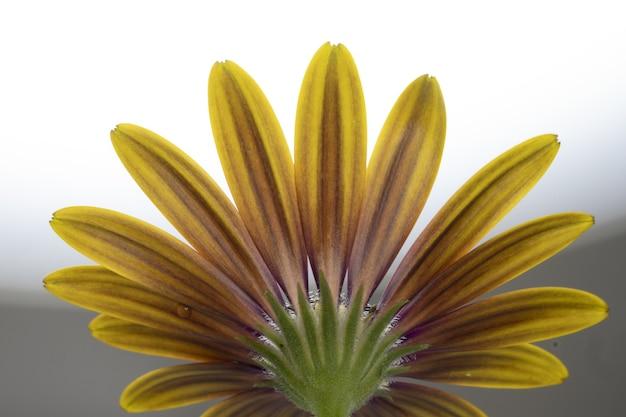 Close up de um osteospermum amarelo isolado em um branco