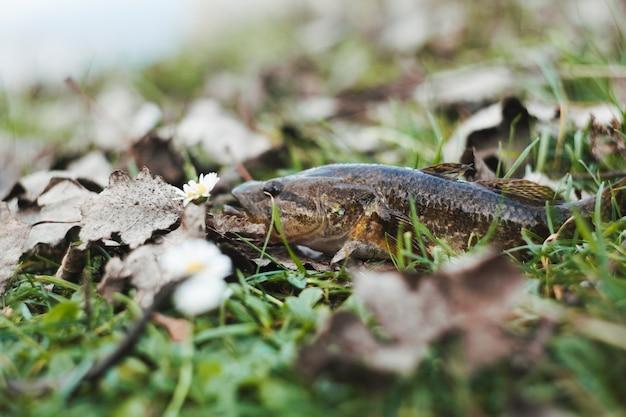 Close-up, de, um, peixe fresco, ligado, capim