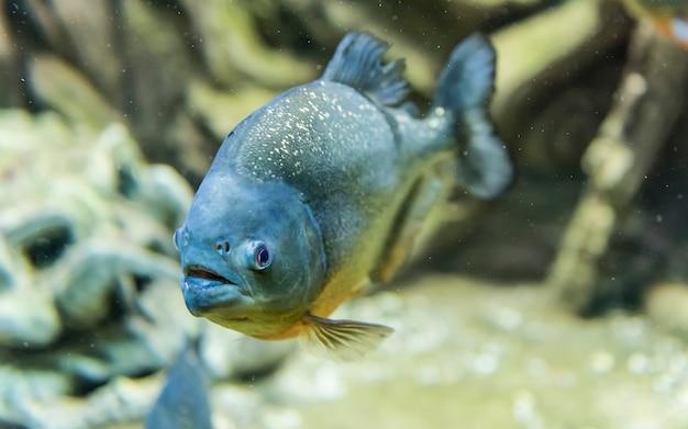 Close up de um peixe piranha tropical debaixo d'água no ambiente do aquário. aka piranha comedora de gente