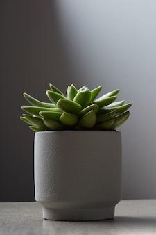 Close up de um pequeno cacto suculento em vaso de flores