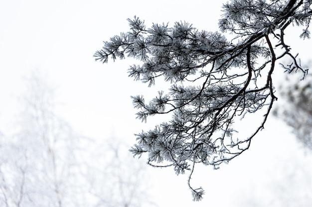 Close up de um topo coberto de neve de um abeto sob uma nevasca em um fundo