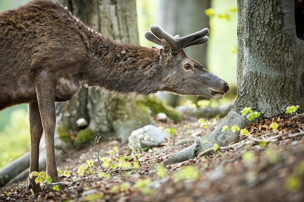 Close-up de um veado vermelho veado interessado cheirar para cheiro baixo acima do solo