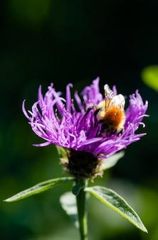 Close-up de uma abelha assentada no topo coletando pólen de uma flor de violeta selvagem