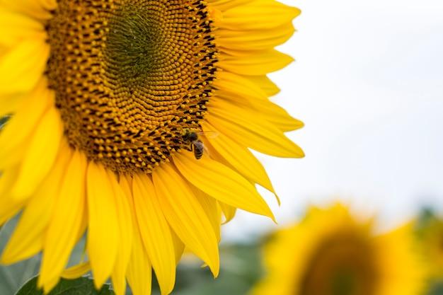 Close up de uma abelha em um girassol
