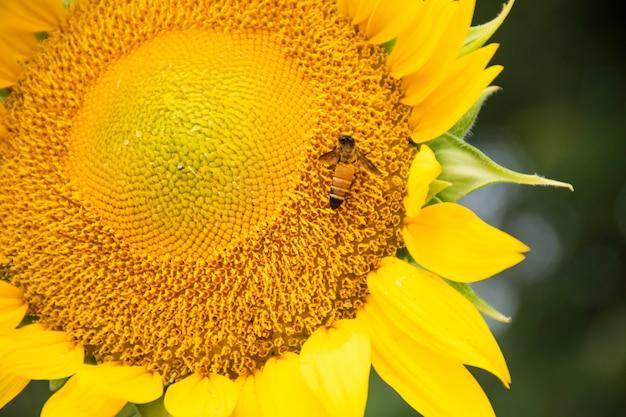 Close-up de uma abelha pendurada em um girassol. eles estão comendo água do pólen do girassol.
