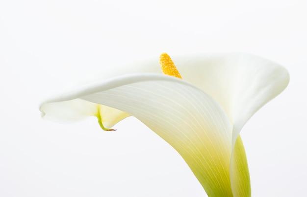 Close up de uma bela flor de lírios de calla isolado no fundo branco