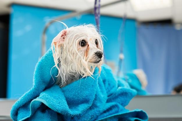 Close up de uma bolonka à bolonhesa molhada enrolada em uma toalha azul Foto Premium