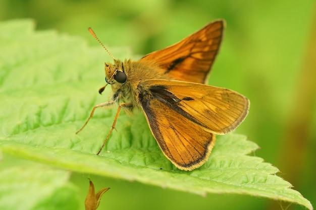 Close-up de uma borboleta grande capitão (ochlodes sylvanus) com asas abertas em uma folha verde