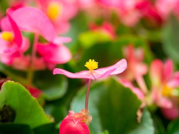 Close-up de uma flor brilhante begonia semperflorens. foco seletivo. flores para casa