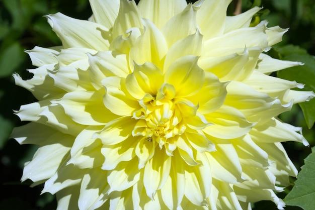 Close up de uma flor dália amarela em um jardim em um dia ensolarado