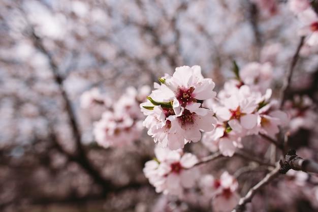 Close-up de uma flor de cerejeira em uma árvore