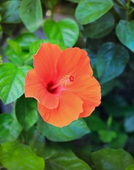 Close-up de uma flor de hibisco rosa-sinensis bela natureza