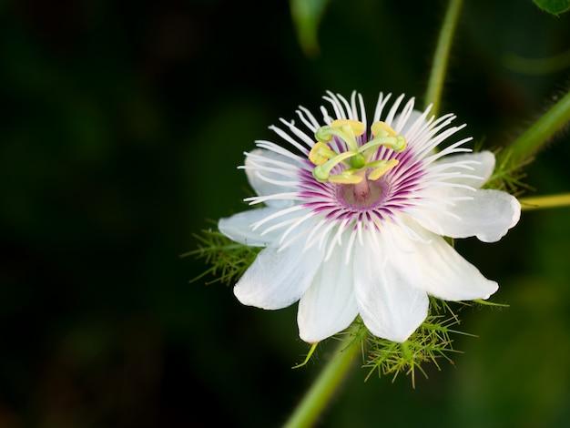 Close-up de uma flor de passiflora foetida l.