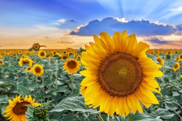 Close up de uma flor do girassol na perspectiva de um campo e de um céu.