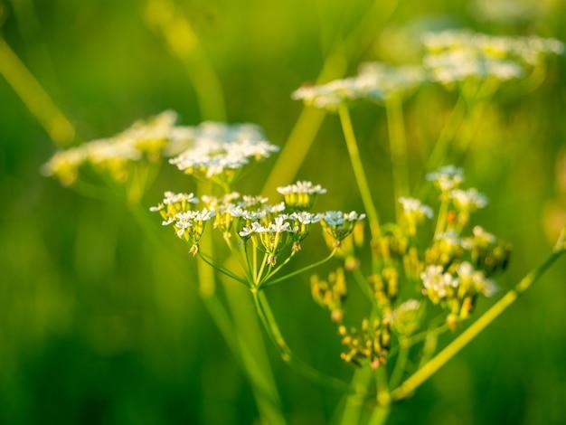 Close-up de uma flor florescendo do campo pastinaga ao pôr do sol. fundo floral. verão