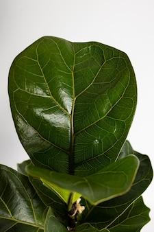 Close up de uma folha de violino tropical folha figo ficus lyrata planta de casa isolada no fundo branco