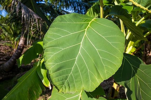 Close-up de uma folha verde de teca
