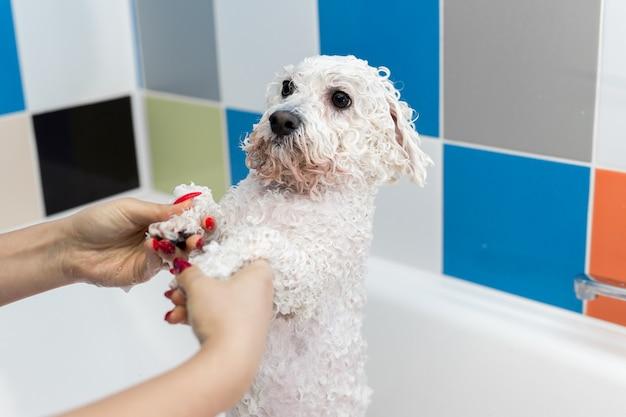 Close-up de uma garota dando banho no cachorro no banheiro. cuidar de um cachorro bichon frise, close-up.
