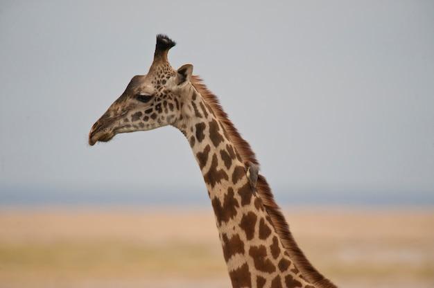 Close-up de uma girafa