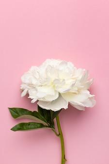Close up de uma linda flor de peônia branca em um vaso em fundo rosa com espaço de cópia, férias e nascimento.