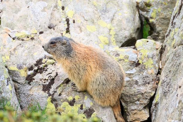 Close-up de uma marmota alpina ao longo de uma trilha, alpes italianos, panorama montanhoso