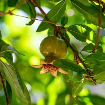 Close up de uma romã bebê verde crua cercada por suas folhas na árvore