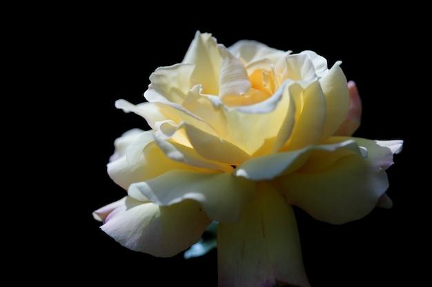 Close up de uma rosa de jardim branca em preto