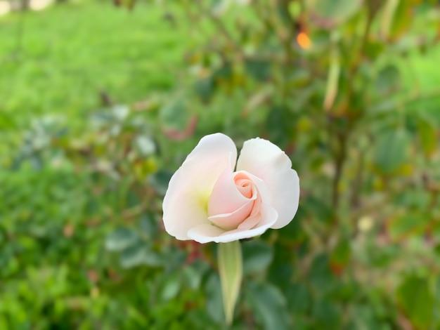 Close up de uma rosa de jardim com pétalas de rosa claro