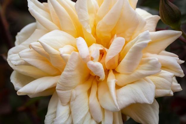 Close-up de uma rosa em um arbusto com um tom delicado de pêssego