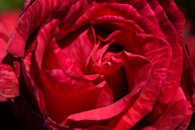 Close up de uma rosa vermelha com pétalas imperfeitas.