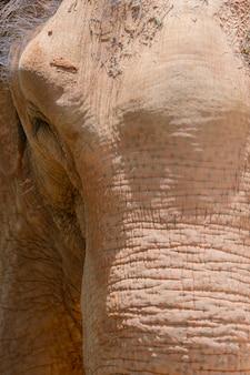 Close up de uma tromba e de uma cabeça de elefante. sujeira na cabeça de um elefante.