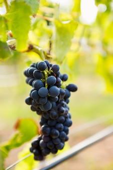 Close-up de uvas crescendo