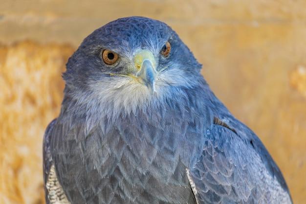 Close-up do adulto da águia do protetor (melanoleucus do geranoaetus).