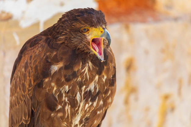 Close-up do adulto de águia dourada (aquila chrysaetos). também conhecida como águia caudal. anel para falcoaria. com o bico aberto. anel para falcoaria.