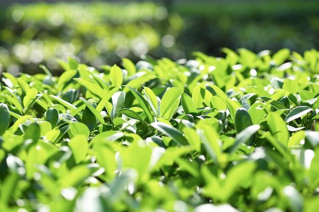 Close-up do arbusto brilhante
