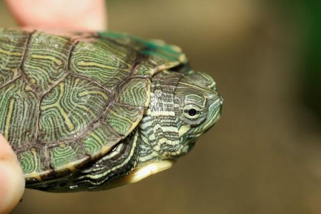 Close-up do bebê tartaruga slider orelhudo é animal de estimação no homem dedo em casa na tailândia