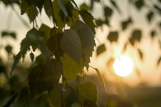 Close up do brunch de bétula com folhas verdes ao ar livre no fundo colorido borrado à noite ou ao amanhecer.