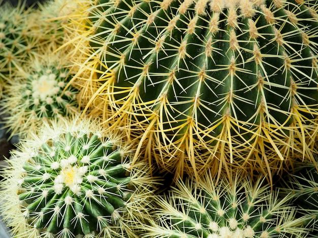 Close up do cacto de tambor dourado (echinocactus grusonii)