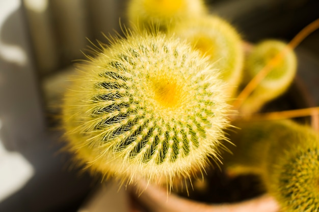Close-up do cacto e fundo macro, cacto amarelo, desfoque e bokeh.