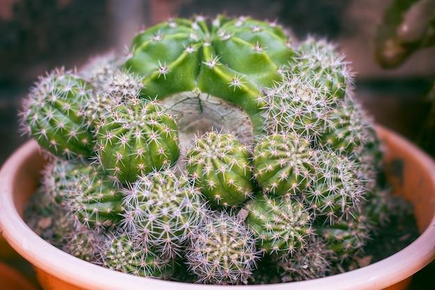 Close-up do cacto, echinopsis eyriesii é uma espécie de cactos do gênero echinopsis. cacto para decoração