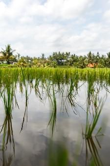 Close up do campo de arroz lindo.